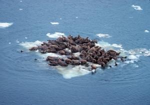NOAA walruses on Bering Sea ice, Alaska, June 1978