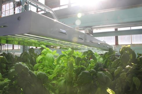 Plants get both natural and artificial sunlight at Sweet Water Foundation in Chicago, Ill. Sweet Water Foundation's aquaponic farm is inside of what was once an old shoe factory. (Anne Evans/MEDILL)
