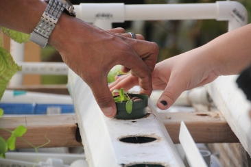 Students begin planting new plants at Lindblom Math and Science Academy in Chicago, Ill. (Anne Evans/MEDILL)