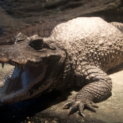Breeding some animals, like the caiman at the Lincoln Park Zoo, can be treacherous - for both zookeepers and the animals. If left in the same enclosures for too long, some potential mates may injure or even kill each other.