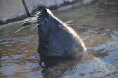 A harbor seal braves the cold at the Lincoln Park Zoo. Harbor seals give birth to only one pup at a time, while other animal species, such as some frogs, have offspring in the hundreds. Each situation presents unique challenges in population management.